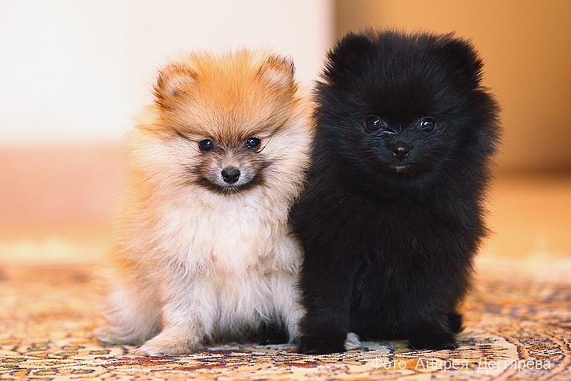покажите фото собаки шпиц очень короткие