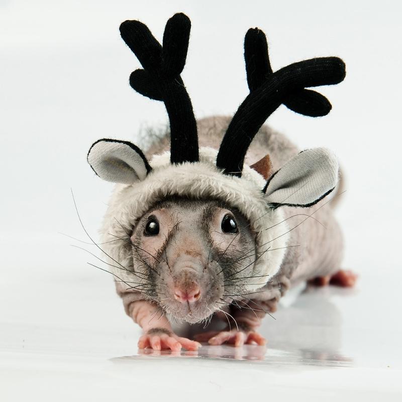 Декоративная крыса в шапочке