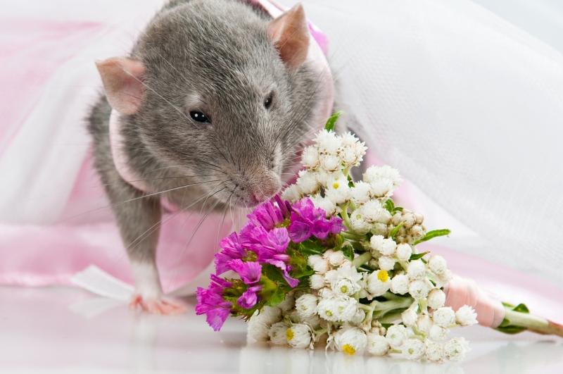 Свадебная съемка крыс