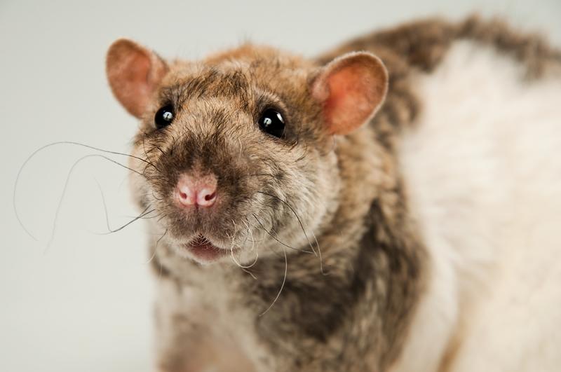 Крыса кудрявая