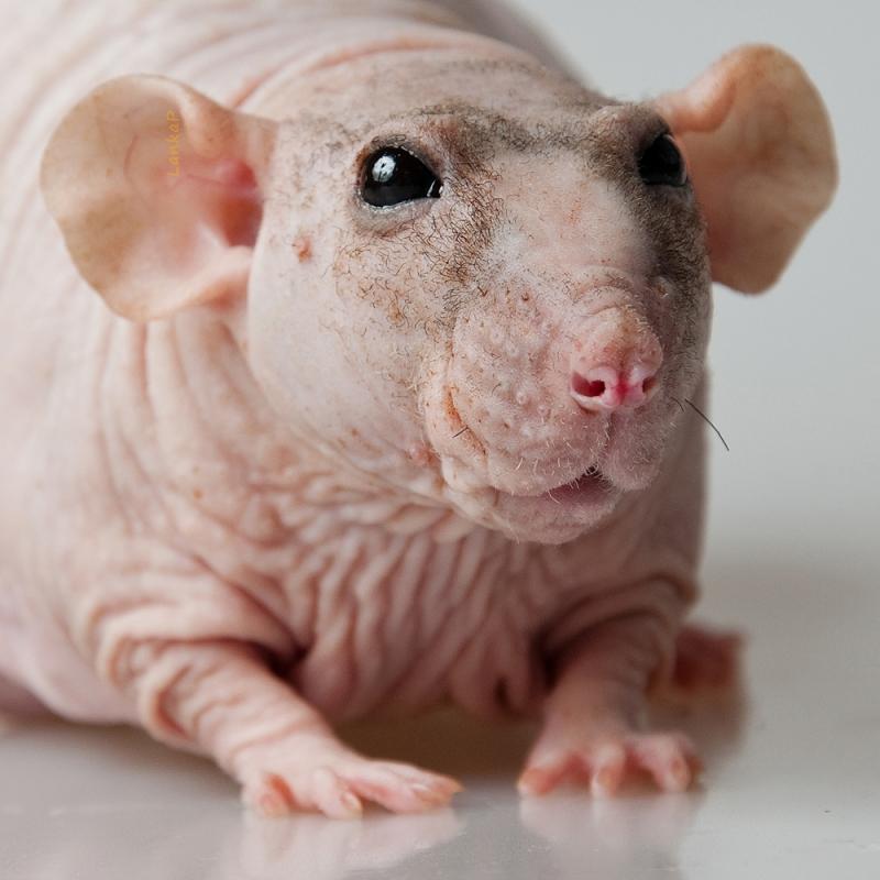 Лысая крыса дамбо