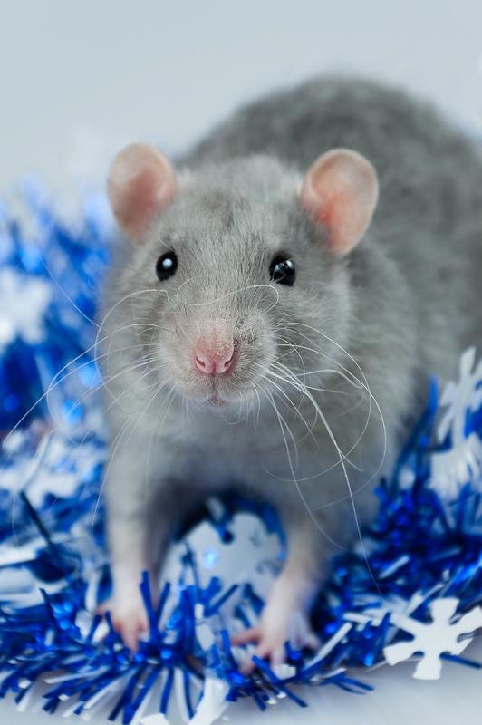 Зимняя голубая крыса