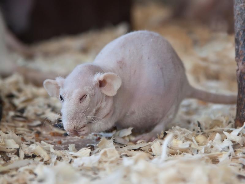 Крыс.