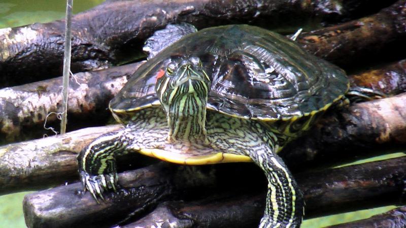 Красноухие черепахи среда обитания в природе