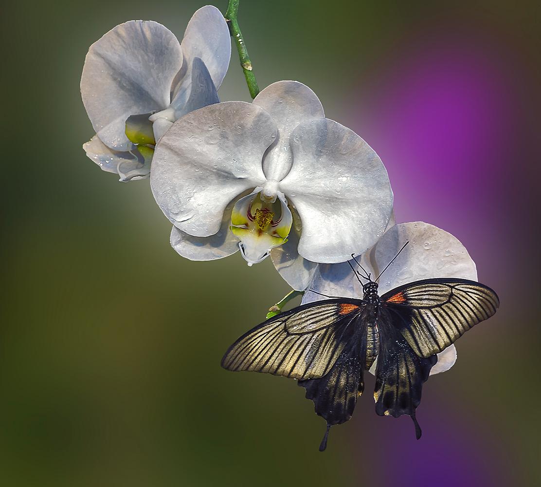Орхидеи и бабочка.   Природа   Фотография #111692