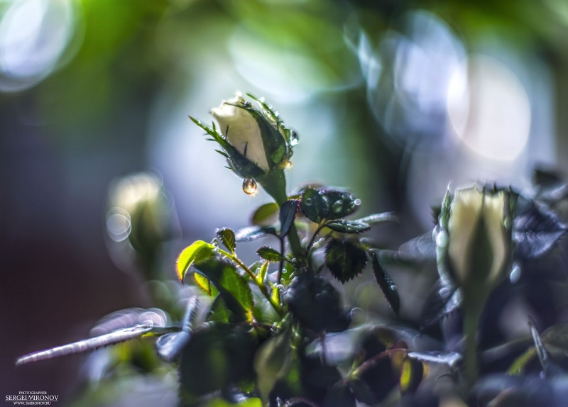 Королева-роза с бриллиантовыми сережками