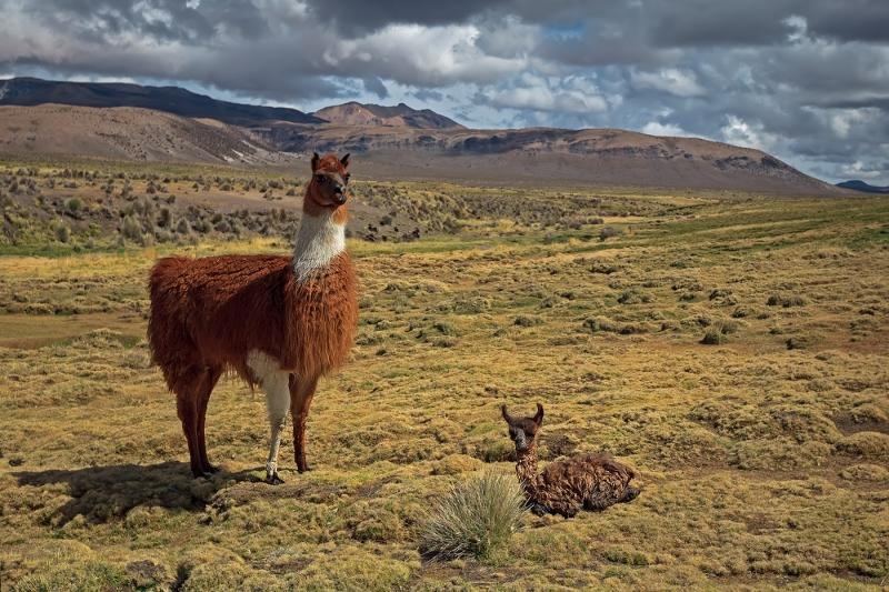 Llama travel
